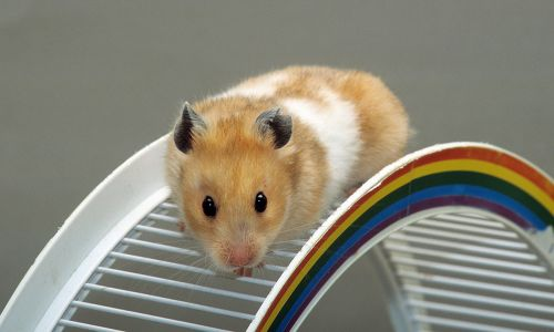 PETA Believes Student Who Flushed Her Emotional Support Hamster Down the Toilet Should Be Charged!