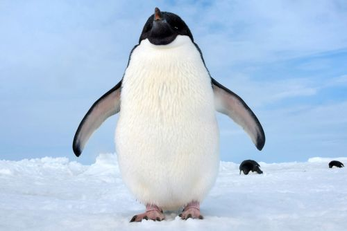 The cute, clumsy star of 'Penguins' will warm your heart